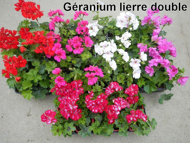 Wysiwyg web builder news writer - Geranium lierre double retombant ...